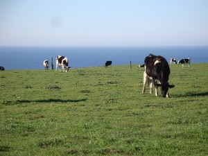 spaceandtimeorganizing cows on the coast